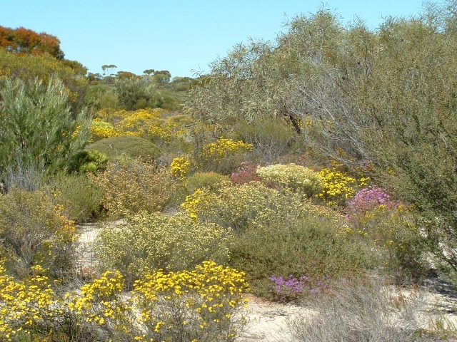 Regeneration of Verticordias on the farm, near Hyden WA