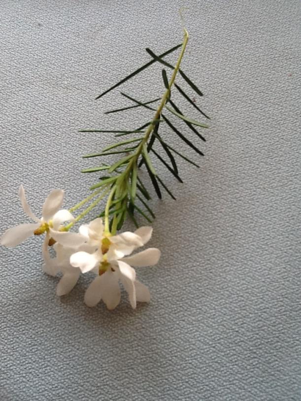 ricinocarpus-pinifolius